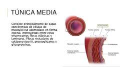 capa intima de los vasos sanguineos