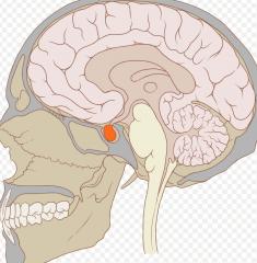 - Hypophyse in der knöchernen Sella turcica der Schädelbasis - in enger Beziehung zu → Chiasma opticum → Sinus cavernosus → A. carotis interna → Hirnnerven III, IV, V1, V2 und VI.