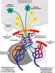 - Axonendungen aus den hypothalamischen Nuclei supraopticus et paraventricularis - Abgabe der im Hypothalamus gebildeten Hormone an den Körperkreislauf
