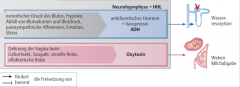 - ADH (Antidiuretisches Hormon)   - Oxytocin