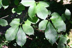 Magnoliaceae Magnolia kobus var. borealis