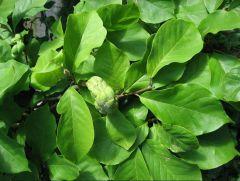Magnoliaceae Magnolia x soulangeana
