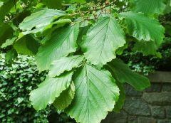 Hamamelidaceae Hamamelis japonica