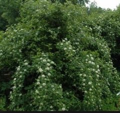 Rosaceae Physocarpus opulifolius