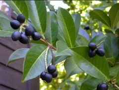 Rosaceae Prunus  laurocerasus