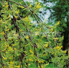 Fabaceae Caragana arborescens 'LORBERGII'