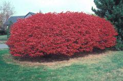 Celastraceae Euonymus alatus