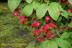 Celastraceae Euonymus planipes