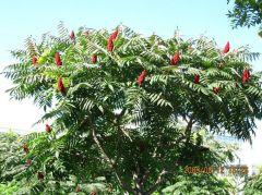 Anacardiaceae Rhus  typhina