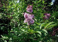 Oleaceae Syringa josikaea