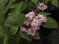 Oleaceae Syringa  komarowii ssp. reflexa
