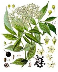 Adoxaceae Sambucus nigra