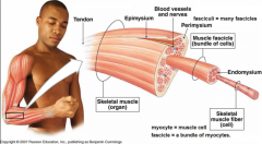 - Muscle fibres (cells) are grouped into fascicles (bundles)