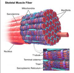 - The plasma membrane of a muscle fiber