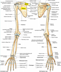 -Shoulder -Made up of the scapula and clavicle
