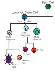 1. Macrophages 2.  T Cells  3.  B Cells 4. Natural Killer Cells  5. Mast Cells