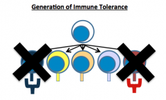 1. Clonal Deletion - destruction by apoptosis in the thymus of those T Cells that have receptors capable of binding to self proteins.  2. Clonal Inactivation - process occurring in the periphery that causes self reacting T cells to become non res...