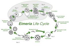 Phylum Apicomplexa Typical life cycle includes -Merogony/Schizogony -Gamogony into micro & macrogamonts -Sporogony  Includes Family Eimeridae Family Sarcocystidae