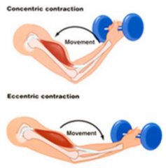 - Ordinarily, when muscles contract, they shorten and movement occurs--this is called isotonic contraction.  Examples include:      - Lifting an object off a desk     - Walking     - Swimming