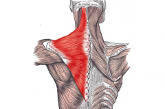 - Moves the shoulder blade (scapula) and the head     - Shrug your shoulders and pull them back