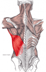 - This muscle is lateral and dorsal     - Extends and adducts the arm (i.e., brings it down from a raised position)     - This muscle is used for swimming, rowing, and climbing a rope