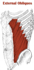 - Runs at a slant and at right angles to the internal oblique muscle; the transversus abdominis, runs horizontally across the abdomen     - Abdominal wall is strengthened by having muscle fibers that run in different directions