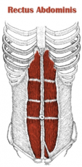 - Outermost muscle that runs straight(rectus)up from the pubic bones to the ribs and sternum  - Holds the contents of the abdominal cavity in place  - Also allows the vertebral column(spine)to move easily