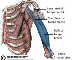 - This muscle is on he anterior upper arm  - Flex your arm
