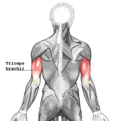 - The only muscle of the posterior upper arm  - Extends the forearm
