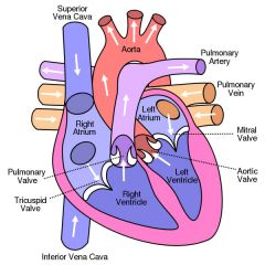 Knowing this, where best will you hear:   a.) mitral stenosis?  M  b.) aortic stenosis?  A  c.) aortic insufficiency ? M  d. mitral insufficiency? P  e. triscuspid insuffiency? T