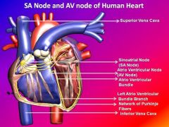 Coronary sulcus on the diaphragmatic or posterior surface of the heart = coronory sinus (only visible on posterior view= site of AV node   Site of SA node = near the opening of the superior vena cava?