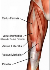 - Composed of rectus femoris and vastus muscles(lateralis, intermeduis and medialis)  - Main extensor of the lower leg