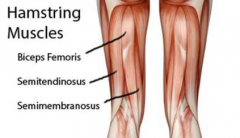 - Composed of three muscles that are found in the back of the thigh: semitendinosus, bicep femoris, and semimembranosus