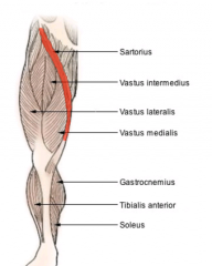 - Long, strap-like muscle that begins at the hip, passes inward across the front of the thigh(femur), and descends over the medial side of the knee