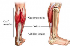 - Located at the back of the lower leg where it forms the large part of the calf  - This powerful plantar flexor of the foot aids in pushing the body forward when you walk or run