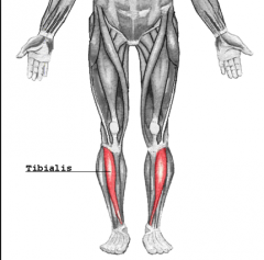 - Long, spindle-shaped muscle located on the front of the lower leg  - Contraction of this muscle causes dorsiflexion and inversion of the foot