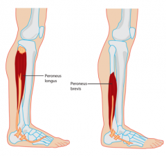 - Found on the lateral side of the leg where it connects the fibula to the foot bones  - Contraction of this muscle causes eversion and plantar flexion(pointing of the toes)