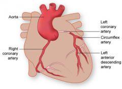 Anterior inter-ventricular artery of the left coronary artery