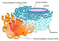 Rough endoplasmic reticulum It attaches to the cellmembrane and the nuclear membrane.