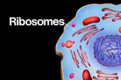 Ribosomes They attach to the (rough) endoplasmic reticulum.