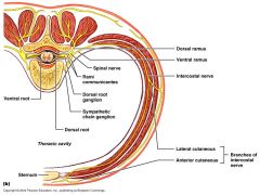 Where do the superficial (extrinsic) muscles of the back generally recieve their innervations from?
