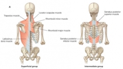 move the upper limbs   appendicular group   move the ribs   respiratory group