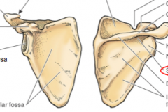 Where is the acromion and spine of scapula?