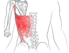 Proximal - T7-T12 & lumbar spinous processes, sacrum, iliac crest, ribs 10-12      Distal - floor of bicipital groove (intertubercular groove)