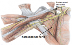 Thoracodorsal nerve (C6-8)      posterior cord of brachial plexus