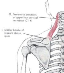 Proximal - C1-C4      Distal - medial border of scapula superior to scapular spine