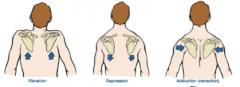 elevate & draw medially scapula      tilt gelnoid fossa inferiorly      laterally flex neck
