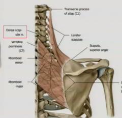 dorsal scapular nerve      dorsal scapular nerve