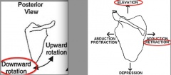retracts & elevates scapula      w/ assistance from other muscles, rotates the lateral aspect of the scapula inferiorly