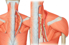 beneath the trapezius with the spinal accessory nerve      beneath the rhomboids to supply them and levator scapulae